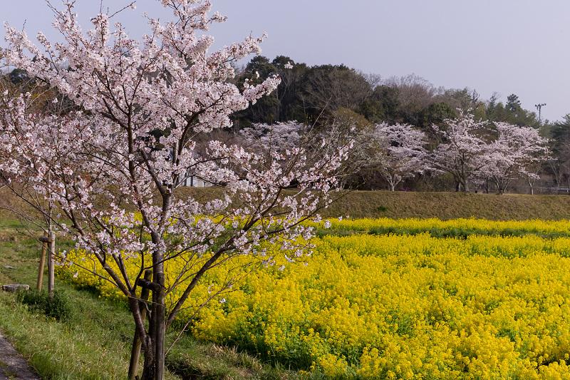 2021桜咲く京都  桜と菜の花畑(京田辺市・大御堂観音寺)_f0155048_21060975.jpg