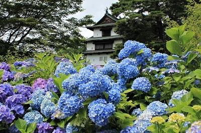 弘前城植物園のあじさい_2021.07.13撮影_d0131668_13184064.jpg