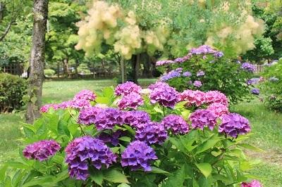 弘前城植物園のあじさい_2021.07.13撮影_d0131668_13231167.jpg