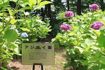 弘前城植物園のあじさい_2021.07.13撮影_d0131668_13234122.jpg