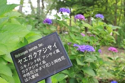 弘前城植物園のあじさい_2021.07.13撮影_d0131668_13242983.jpg