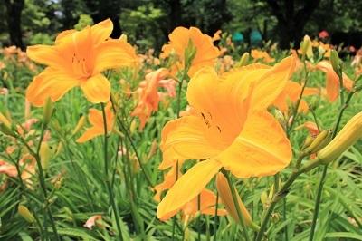 弘前城植物園のあじさい_2021.07.13撮影_d0131668_13450495.jpg