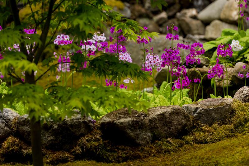 九輪草と春の山野草たち(古知谷阿弥陀寺)_f0155048_21024256.jpg