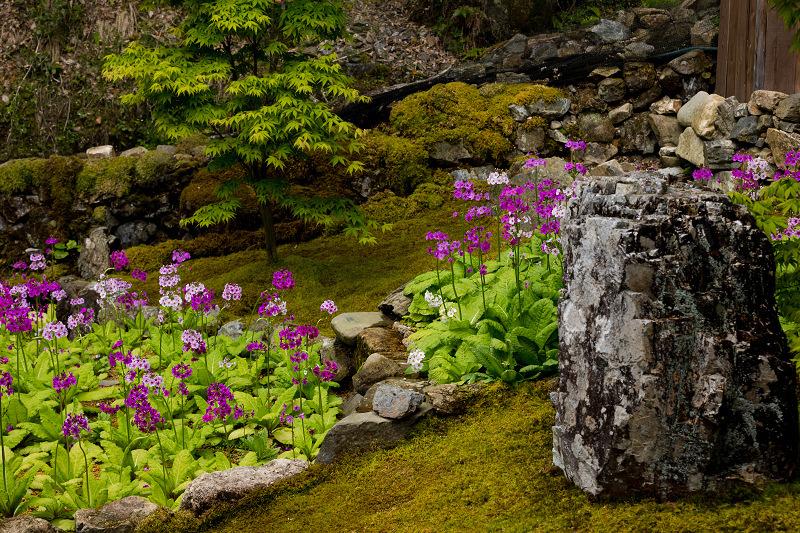九輪草と春の山野草たち(古知谷阿弥陀寺)_f0155048_21025020.jpg