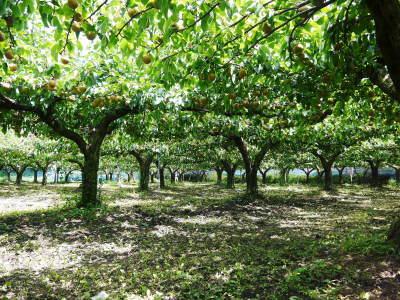 熊本梨 本藤果樹園 今年(令和3年)も元気に育つ梨園の様子!樹上完熟にこだわりお届けします!!_a0254656_16465906.jpg