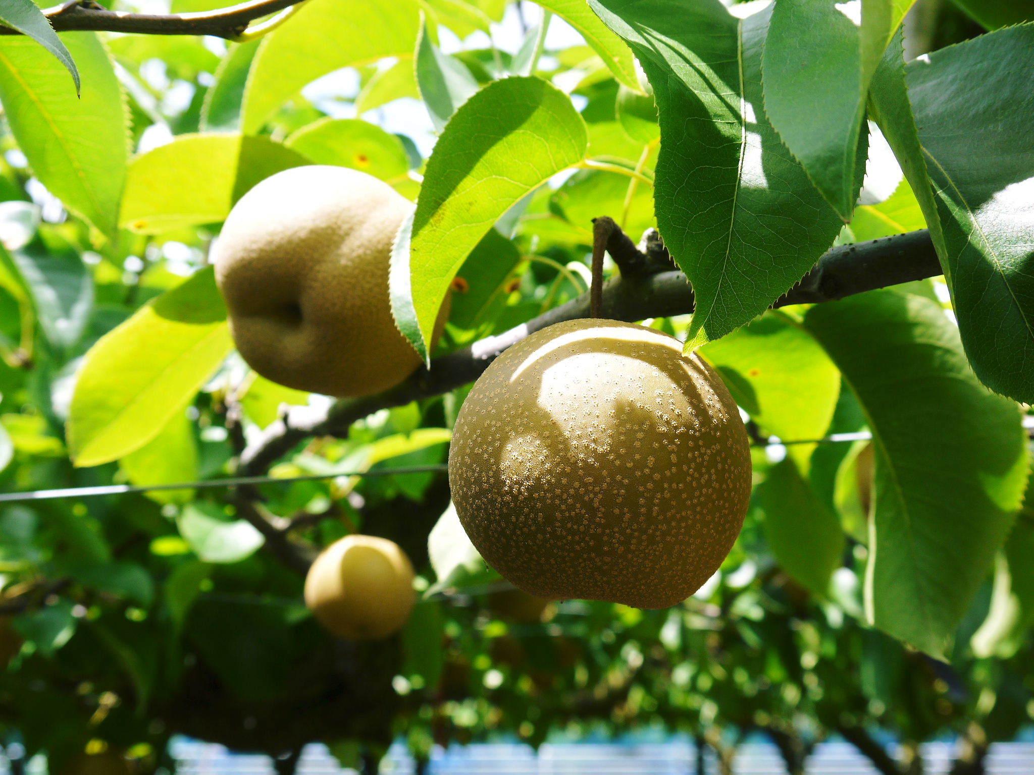 熊本梨 本藤果樹園 今年(令和3年)も元気に育つ梨園の様子!樹上完熟にこだわりお届けします!!_a0254656_16500240.jpg