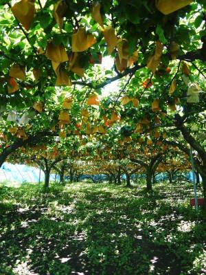 熊本梨 本藤果樹園 今年(令和3年)も元気に育つ梨園の様子!樹上完熟にこだわりお届けします!!_a0254656_16545828.jpg