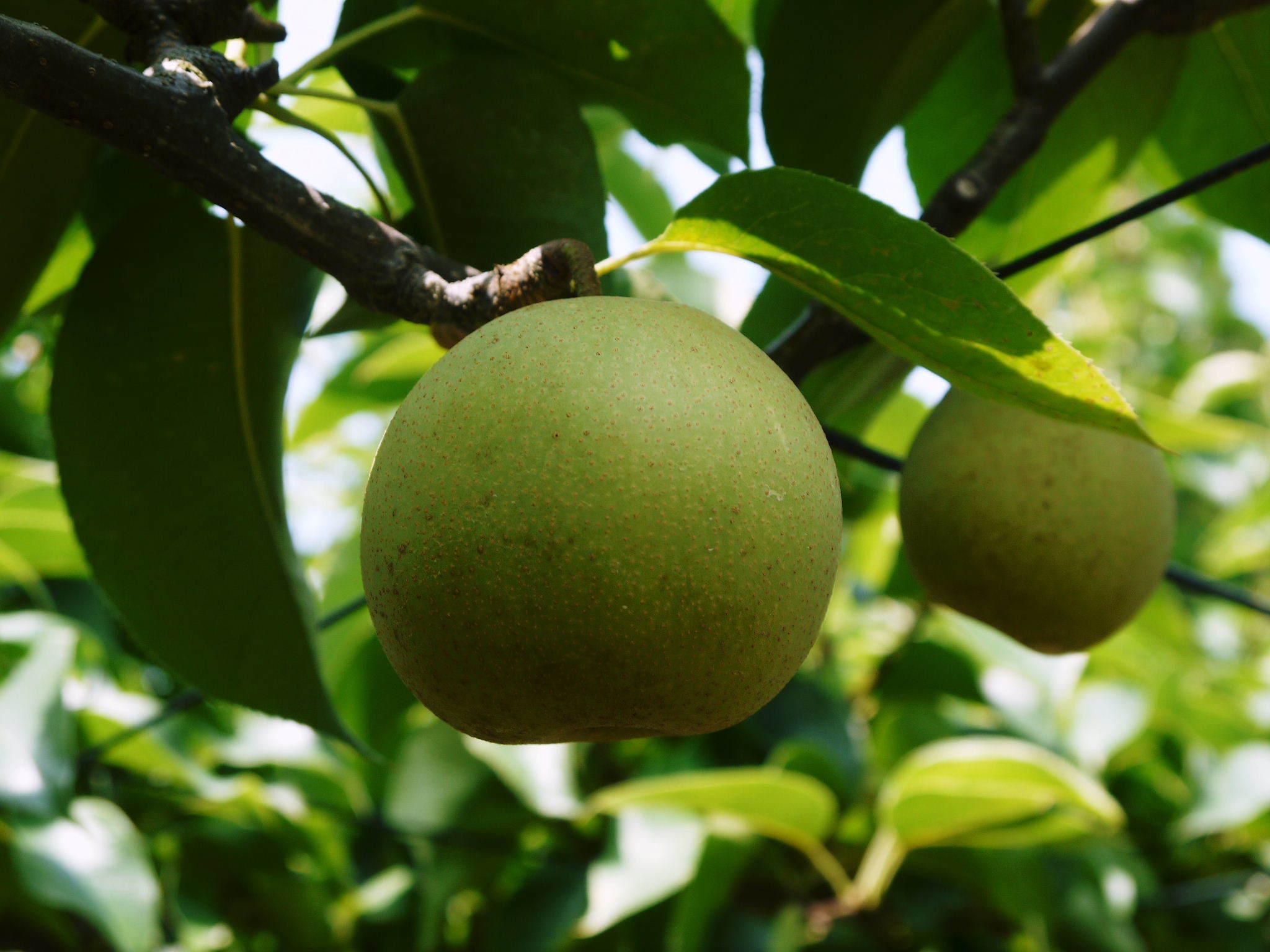 熊本梨 本藤果樹園 今年(令和3年)も元気に育つ梨園の様子!樹上完熟にこだわりお届けします!!_a0254656_16583139.jpg