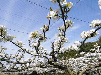 熊本梨 本藤果樹園 今年(令和3年)も元気に育つ梨園の様子!樹上完熟にこだわりお届けします!!_a0254656_17040079.jpg