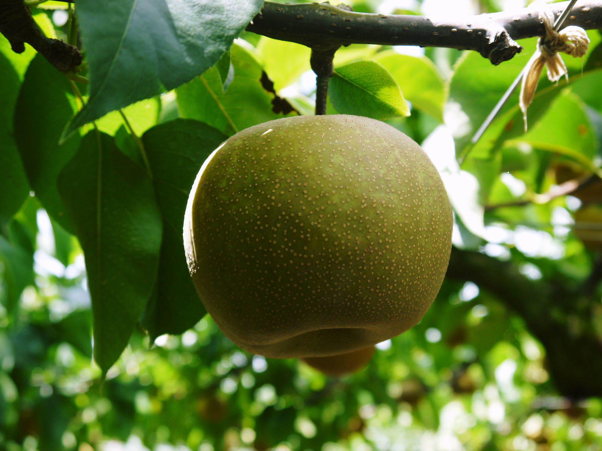 熊本梨 本藤果樹園 今年(令和3年)も元気に育つ梨園の様子!樹上完熟にこだわりお届けします!!_a0254656_17111384.jpg
