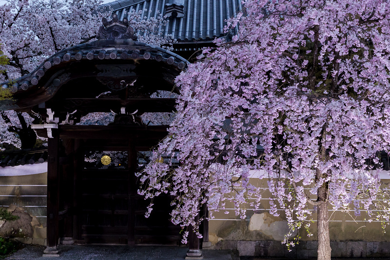 2021桜咲く京都  妙顕寺ライトアップ_f0155048_23330731.jpg