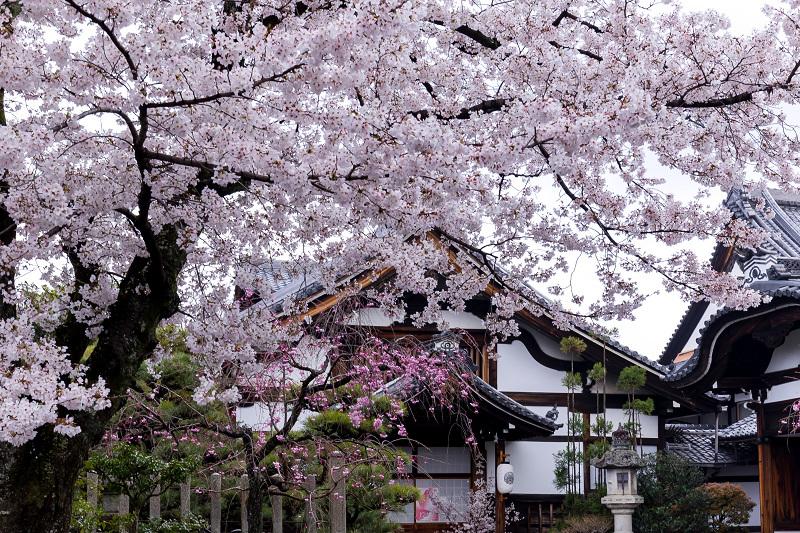 2021桜咲く京都  妙顕寺ライトアップ_f0155048_23333256.jpg