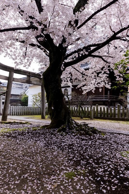 2021桜咲く京都  妙顕寺ライトアップ_f0155048_23342566.jpg