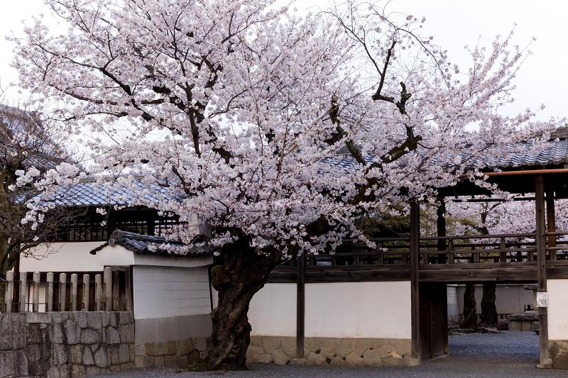 2021桜咲く京都  妙顕寺ライトアップ_f0155048_23351312.jpg