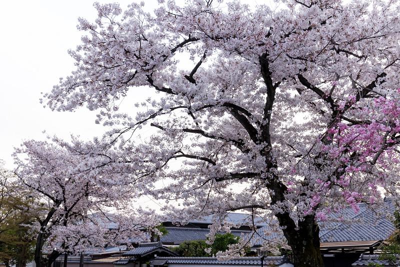 2021桜咲く京都  妙顕寺ライトアップ_f0155048_23352842.jpg