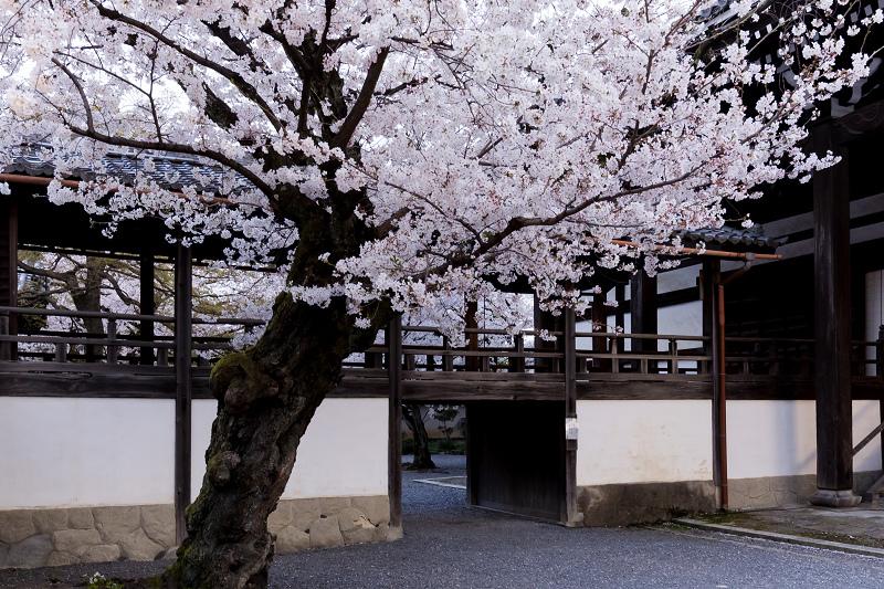 2021桜咲く京都  妙顕寺ライトアップ_f0155048_23354073.jpg
