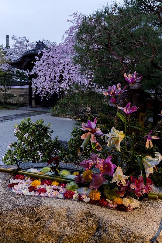 2021桜咲く京都  妙顕寺ライトアップ_f0155048_23362234.jpg