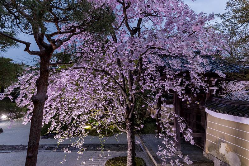 2021桜咲く京都  妙顕寺ライトアップ_f0155048_23393444.jpg