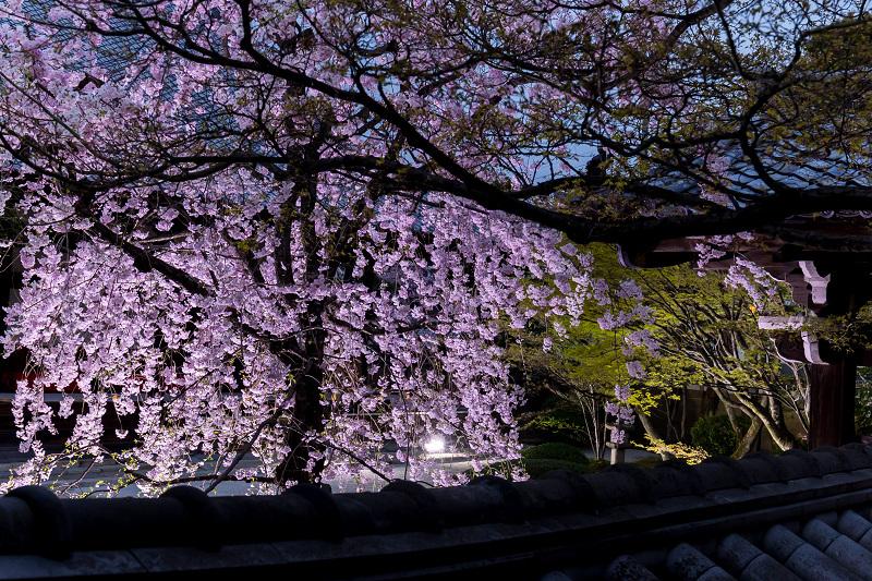 2021桜咲く京都  妙顕寺ライトアップ_f0155048_23394053.jpg