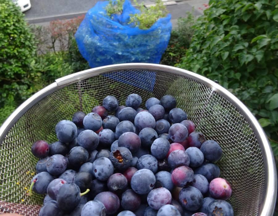 ブルーベリー収穫_f0059673_10292390.jpg