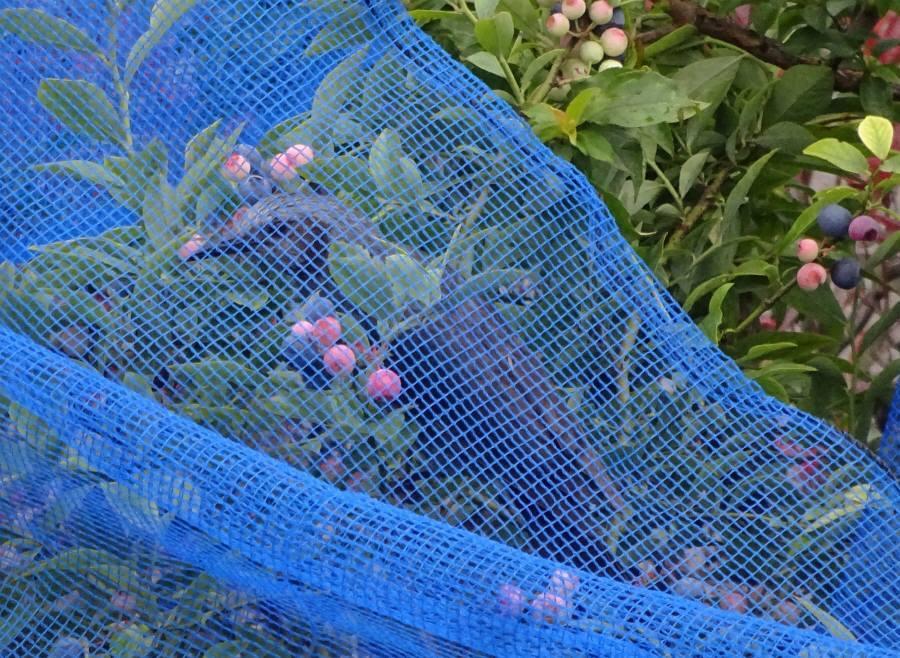 ブルーベリー収穫_f0059673_10294913.jpg