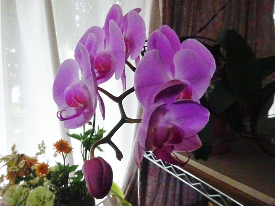コチョウランが咲きました その2_f0059673_11230856.jpg