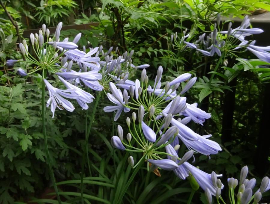庭の花 R3.6月その6_f0059673_11315326.jpg