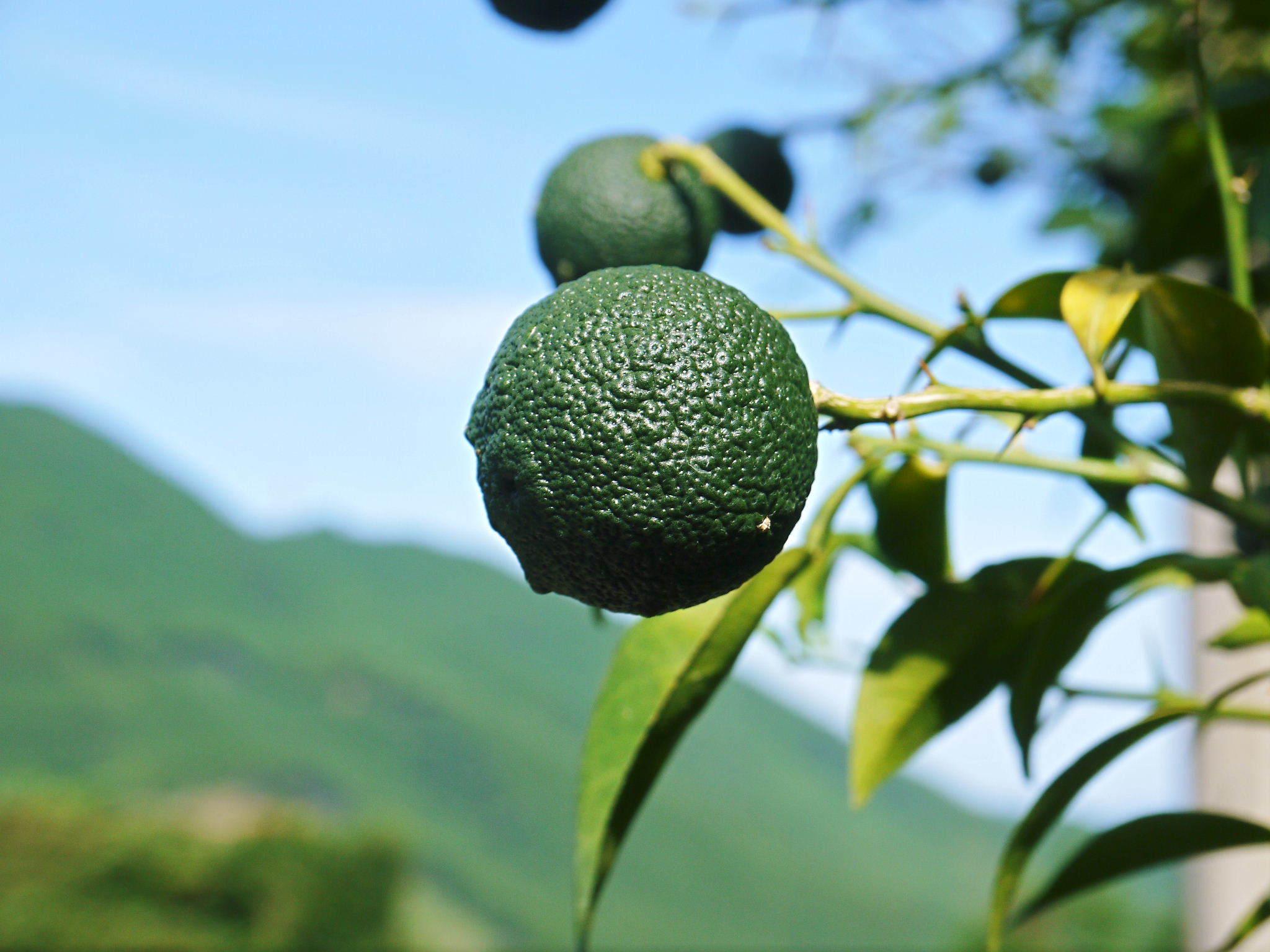 香り高き柚子(ゆず) 令和3年の青柚子の出荷予定と現在の様子 今のうち青唐辛子を購入しておいて下さい_a0254656_18364603.jpg