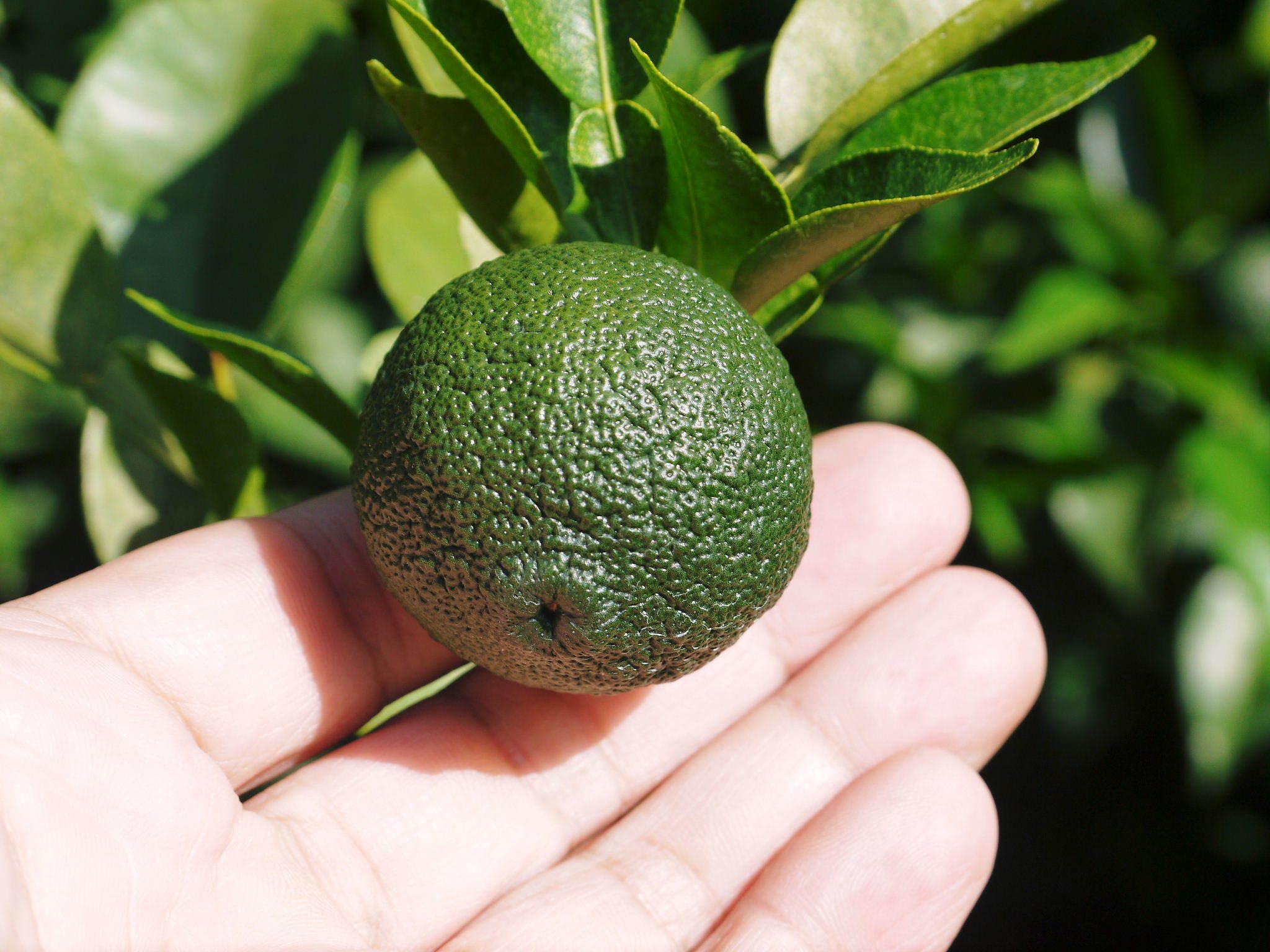香り高き柚子(ゆず) 令和3年の青柚子の出荷予定と現在の様子 今のうち青唐辛子を購入しておいて下さい_a0254656_18404763.jpg
