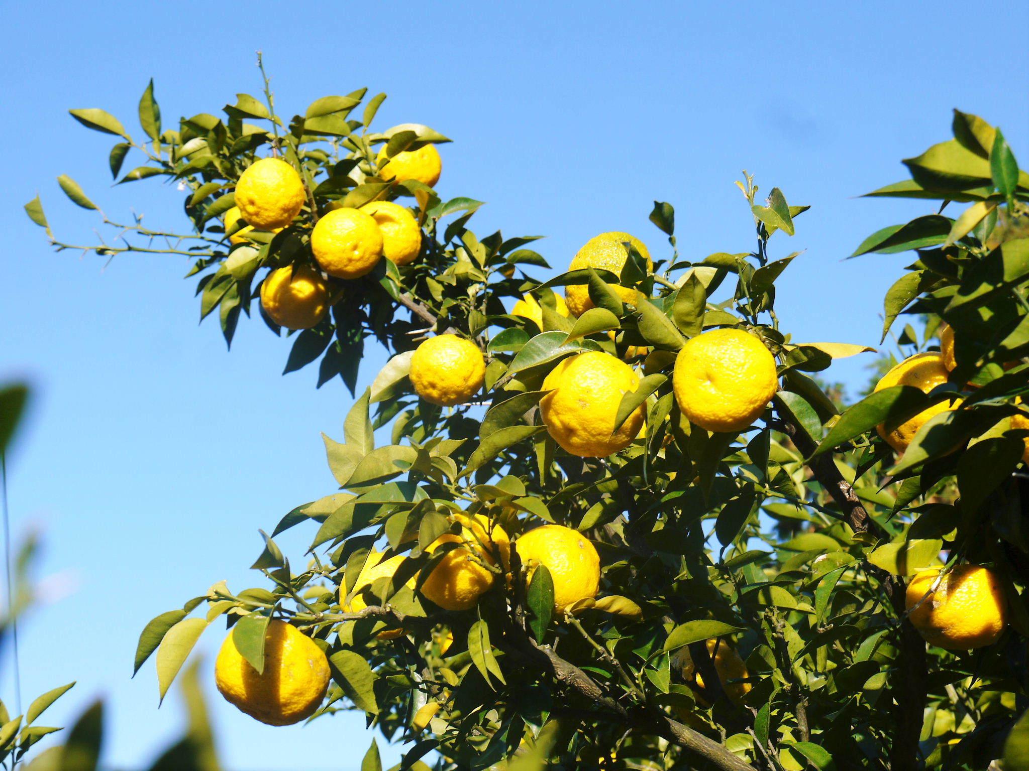 香り高き柚子(ゆず) 令和3年の青柚子の出荷予定と現在の様子 今のうち青唐辛子を購入しておいて下さい_a0254656_18495740.jpg