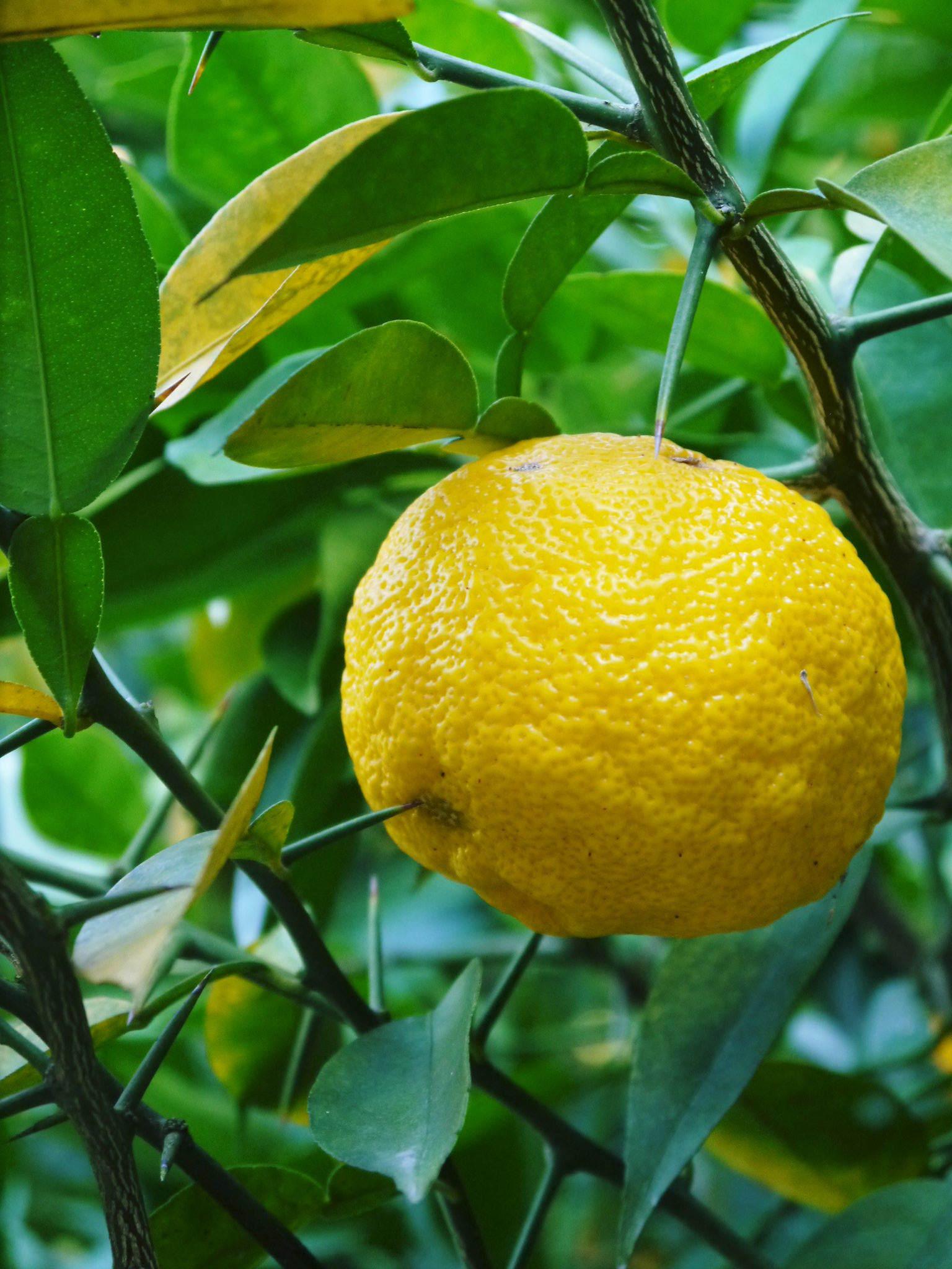 香り高き柚子(ゆず) 令和3年の青柚子の出荷予定と現在の様子 今のうち青唐辛子を購入しておいて下さい_a0254656_18513396.jpg
