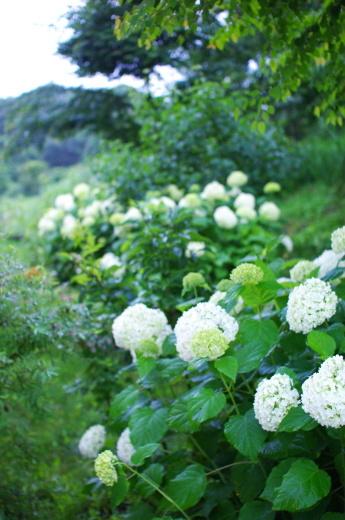 7/16に梅雨明け。庭のアナベル。_c0110869_12304992.jpg
