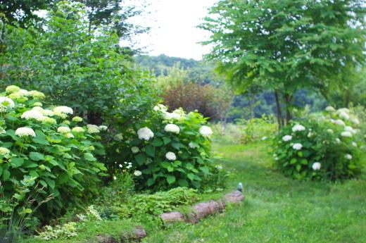 7/16に梅雨明け。庭のアナベル。_c0110869_12310278.jpg