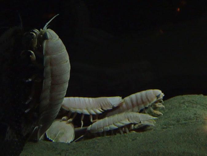 南極の海~卵を守るプランダーフィッシュ、深海の生物~漂うタチウオ(葛西臨海水族園)_b0355317_13060222.jpg