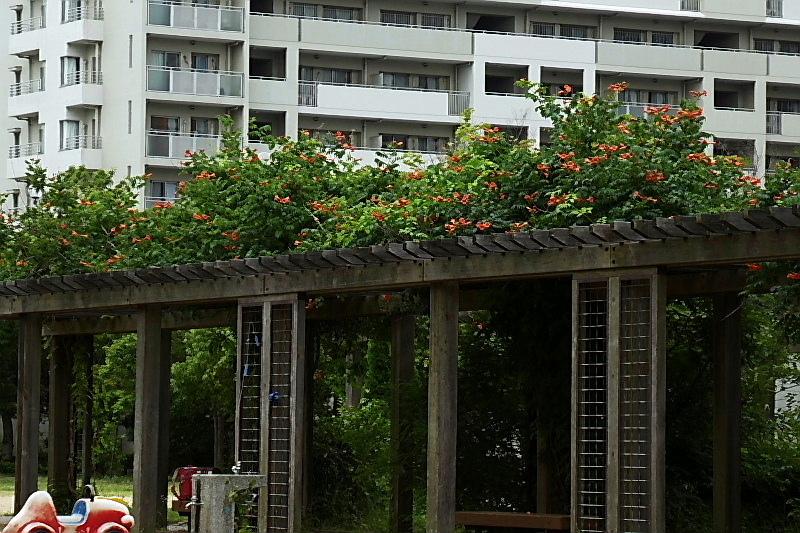 梅雨明け、アメリカ凌霄花、ルドベキア、エキナケア、木の実・李、ブラック・ベリー_c0051143_22332548.jpg