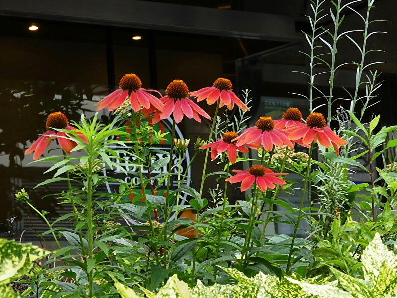 梅雨明け、アメリカ凌霄花、ルドベキア、エキナケア、木の実・李、ブラック・ベリー_c0051143_22395250.jpg