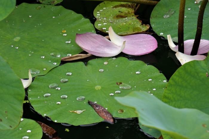原市沼の「古代蓮」を見に行く_d0150720_17563281.jpg