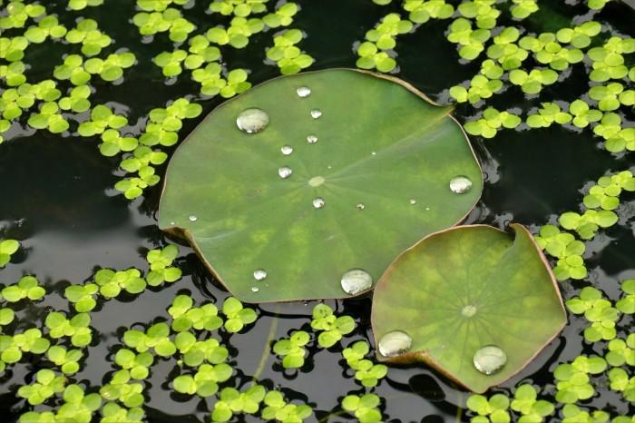 原市沼の「古代蓮」を見に行く_d0150720_17572863.jpg