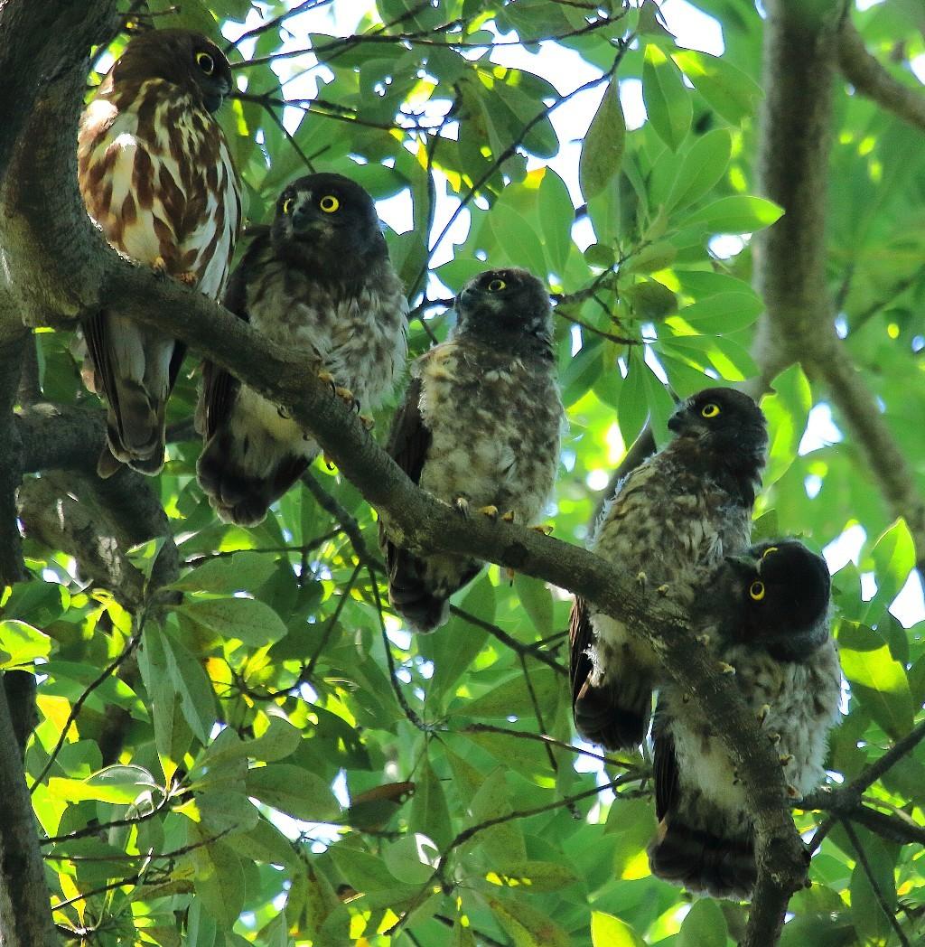 アオバズク雛4羽とお母さん_f0105570_18014719.jpg
