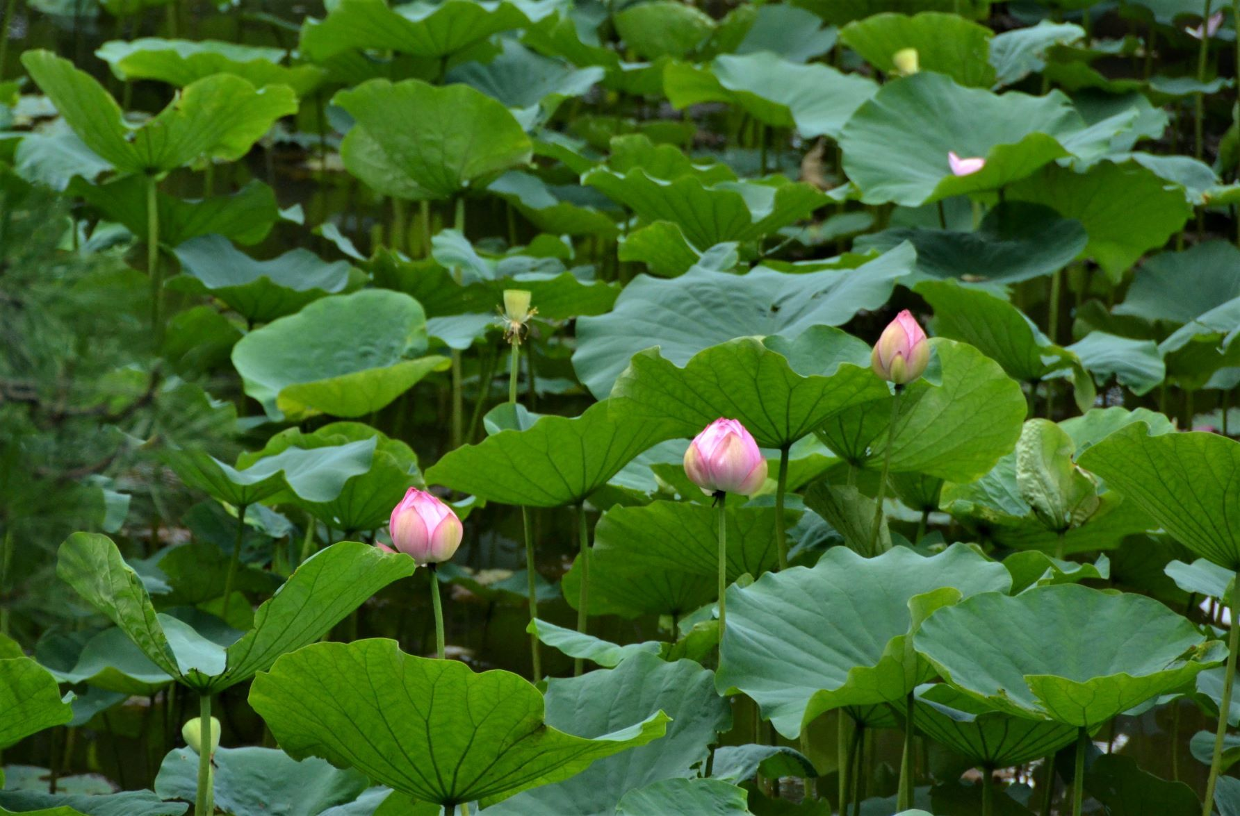 梅雨明けと同時に薬師池公園に・・・_a0053796_11325149.jpg