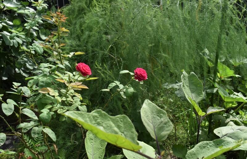 畑をポタジェにしたい!!~植物との混植~_b0280025_15565418.jpg