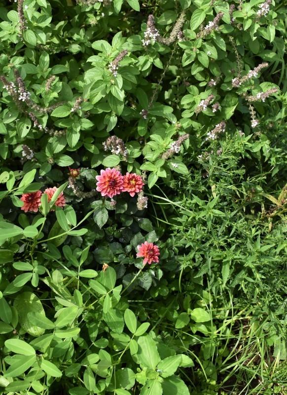 畑をポタジェにしたい!!~植物との混植~_b0280025_15584424.jpg