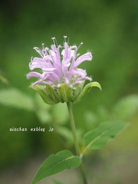 我が家の7月のお庭の花と野菜2と梅仕事~♫_e0406439_13534646.jpg