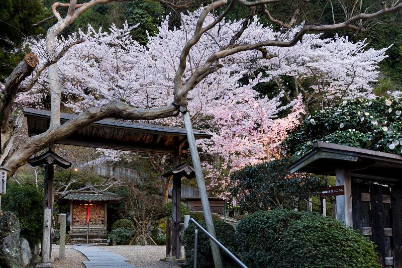 2021桜咲く京都  正壽院ライトアップ_f0155048_22143314.jpg