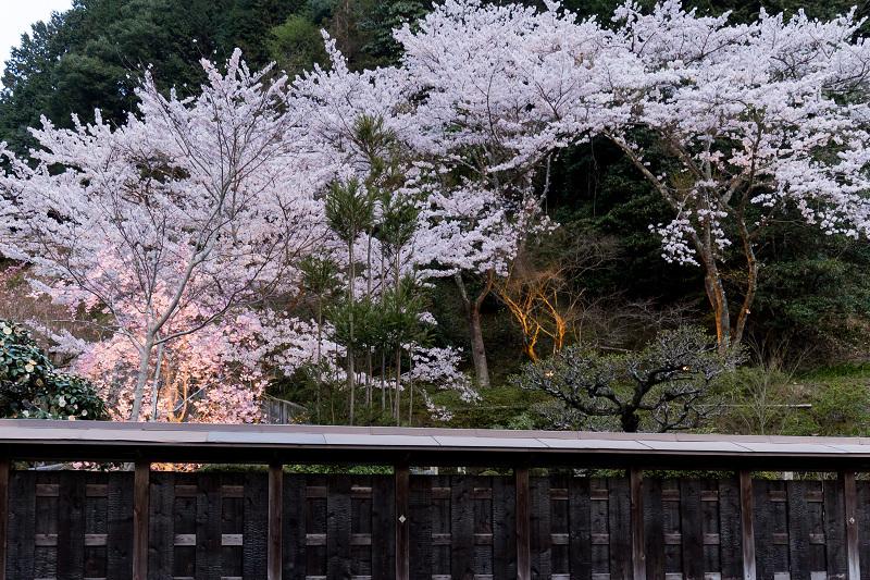 2021桜咲く京都  正壽院ライトアップ_f0155048_22144418.jpg