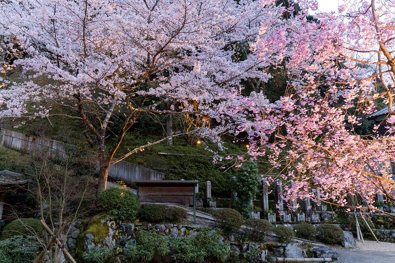 2021桜咲く京都  正壽院ライトアップ_f0155048_22151342.jpg
