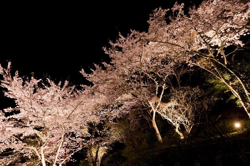 2021桜咲く京都  正壽院ライトアップ_f0155048_22212729.jpg