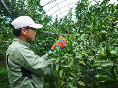 究極の柑橘『せとか』 美味しくて甘く、大きな果実を作り上げるための匠の摘果作業(2021)_a0254656_17500364.jpg