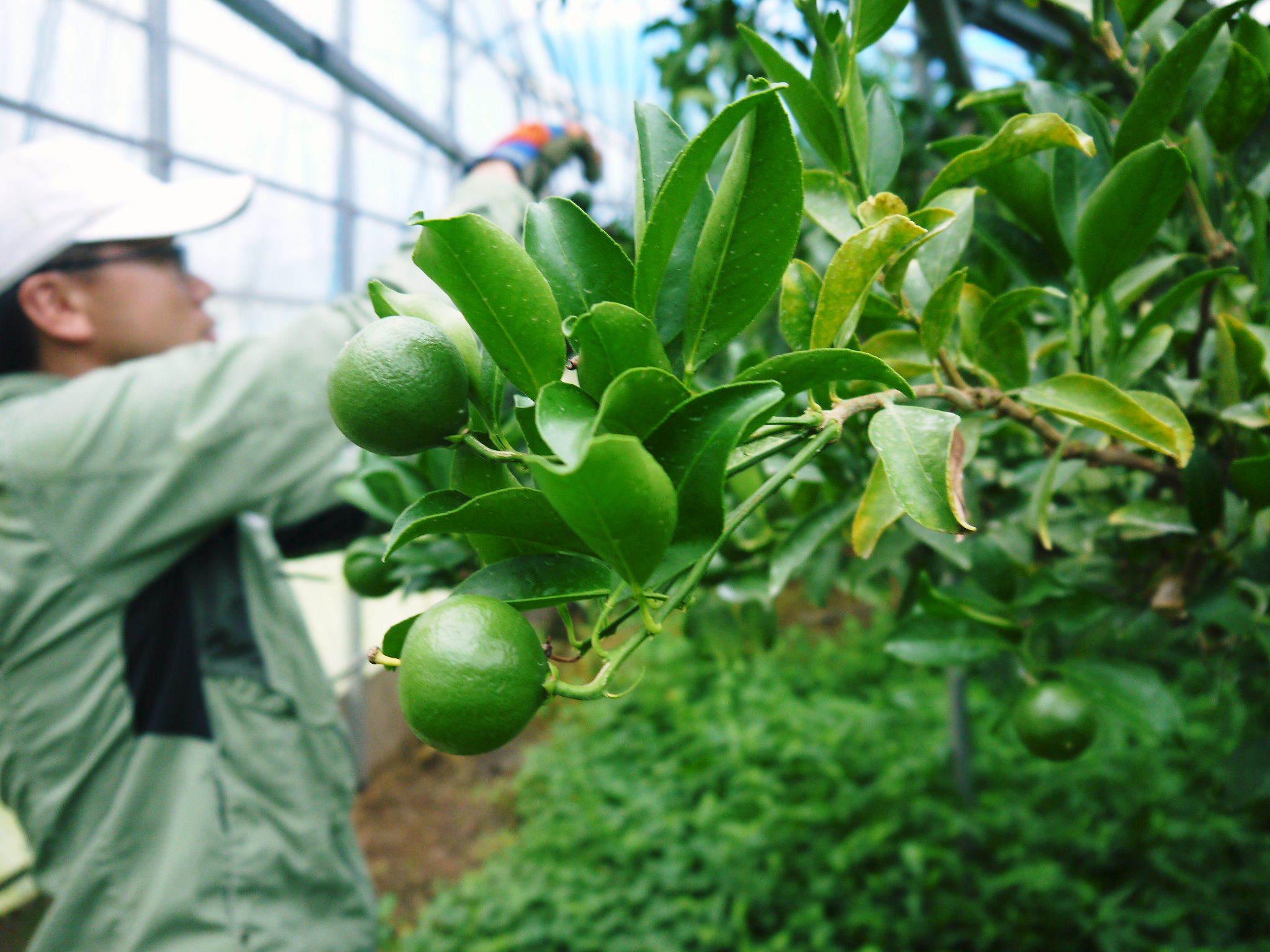 究極の柑橘『せとか』 美味しくて甘く、大きな果実を作り上げるための匠の摘果作業(2021)_a0254656_17512378.jpg