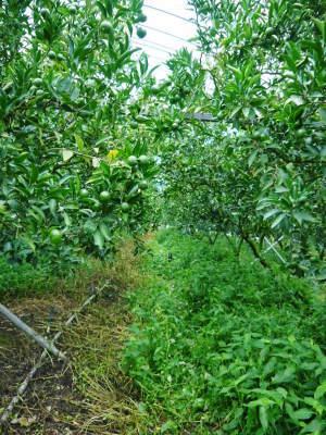 究極の柑橘『せとか』 美味しくて甘く、大きな果実を作り上げるための匠の摘果作業(2021)_a0254656_17544414.jpg